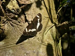 White Admiral (Limenitis camilla)